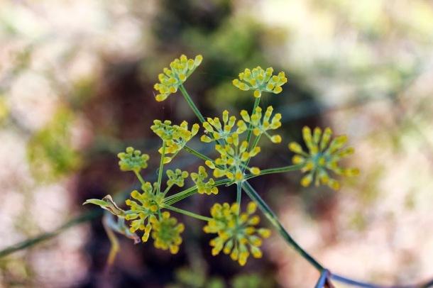 Vill fennel smaker en blanding av dill og anis.